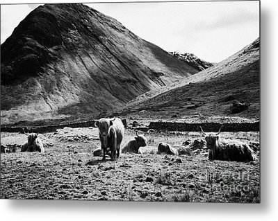 Herd Of Red Highland Cattle Glencoe Highlands Scotland Uk Metal Print by Joe Fox
