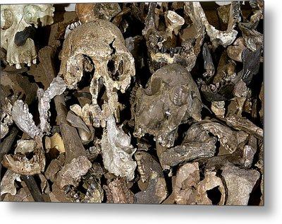 Hominid Skull Casts Metal Print by Volker Steger