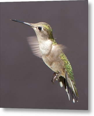 Metal Print featuring the photograph Hummingbird by John Crothers