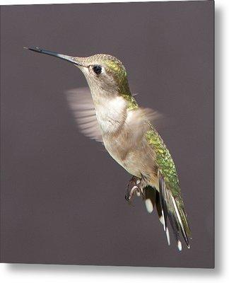 Hummingbird Metal Print by John Crothers