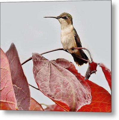 Hummingbird Metal Print by Paulette Thomas