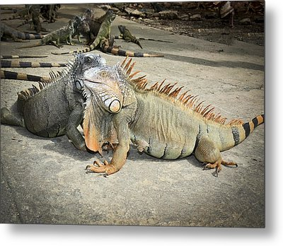 Metal Print featuring the photograph Iguana Family by Nick Mares