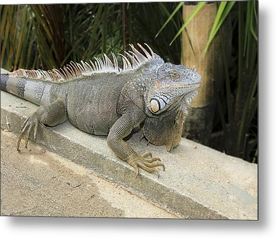 Metal Print featuring the photograph Iguana by Nick Mares