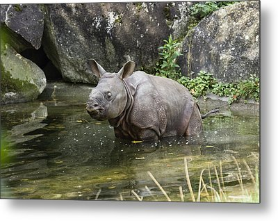 Indian Rhinoceros Rhinoceros Unicornis Metal Print