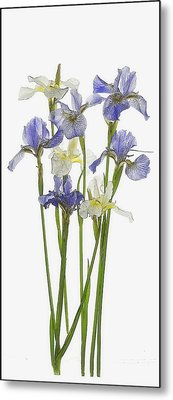 Irises In Blue And Yellow  Metal Print