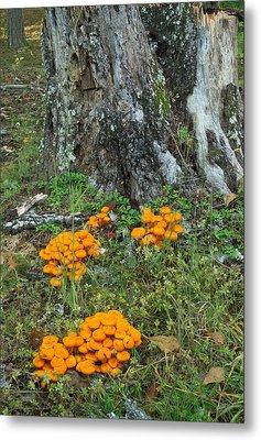 Jack Olantern Mushrooms 16 Metal Print by Douglas Barnett