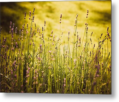 Metal Print featuring the photograph Lavender Gold by Sara Frank