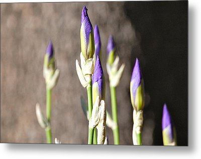 Lavender Iris Buds Metal Print by Mary McAvoy