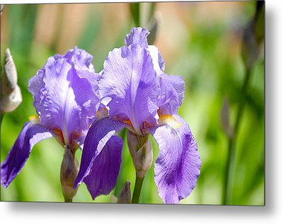 Lavender Iris I Metal Print by Mary McAvoy