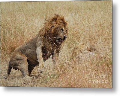 Lion Metal Print by Alan Clifford