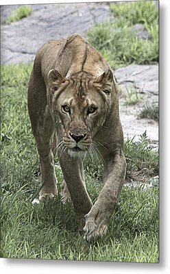 Lioness Metal Print by Yosi Cupano
