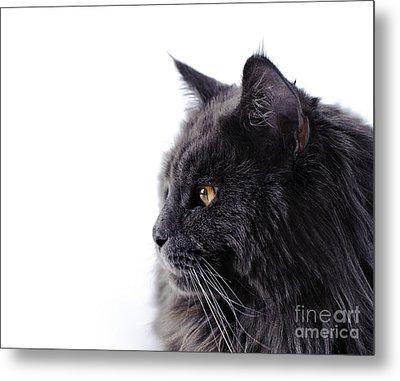 Maine Coon Cat Metal Print by Waldek Dabrowski