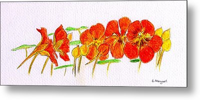 Metal Print featuring the drawing Nasturtiums by Barbara Moignard