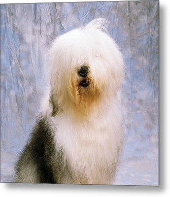 Old English Sheepdog Metal Print by The Irish Image Collection