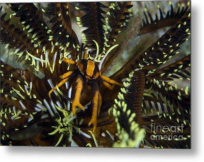 Orange And Brown Elegant Squat Lobster Metal Print