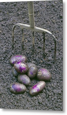 Organic Potatoes Metal Print by Maxine Adcock