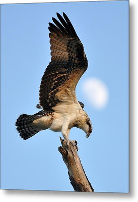 Osprey In Flight Metal Print by Rick Frost