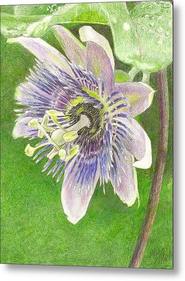 Passiflora Alatocaerulea Metal Print