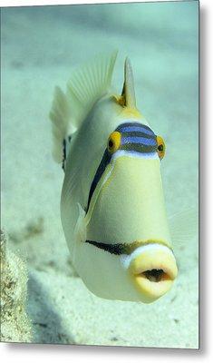 Picasso Triggerfish Metal Print by Georgette Douwma