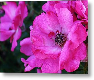 Pink Roses Metal Print by Bruce Bley