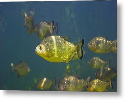 Piranhas Metal Print by Peter Scoones