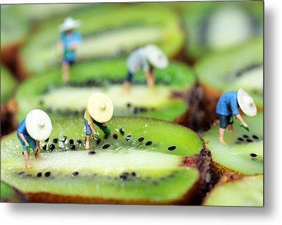 Planting Rice On Kiwifruit Metal Print by Paul Ge