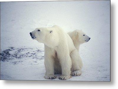 Polar Bear And Cub Metal Print by Chris Martin-bahr