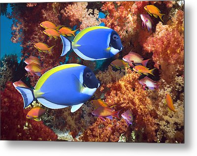 Powder-blue Surgeonfish Metal Print by Georgette Douwma