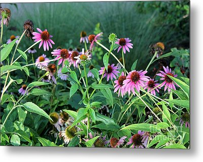 Purple Coneflowers Metal Print by Theresa Willingham