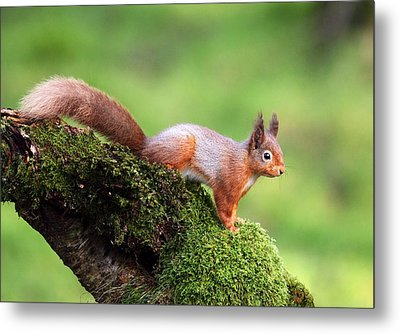 Red Squirrel Metal Print by Grant Glendinning