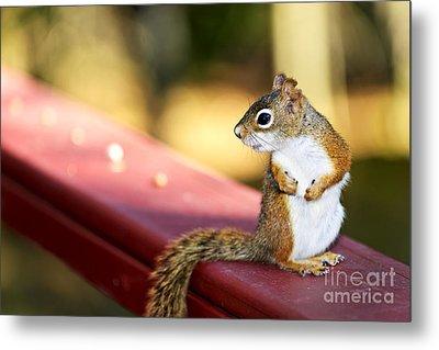 Red Squirrel On Railing Metal Print