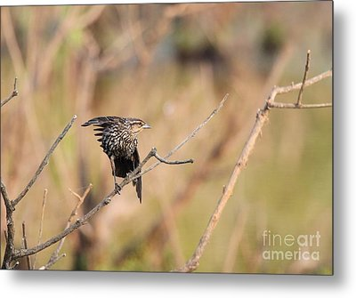 Metal Print featuring the photograph Red-winged Blackbird by Jack R Brock