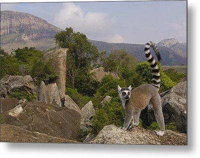 Ring-tailed Lemur Lemur Catta Portrait Metal Print by Pete Oxford