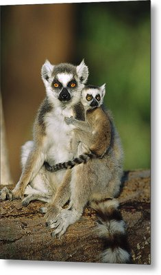 Ring-tailed Lemur Mother And Baby Metal Print by Cyril Ruoso