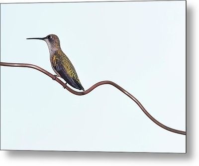 Ruby Throated Hummingbird Metal Print by Jim McKinley