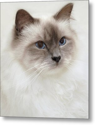 Sacred Birman Cat With Blue Eyes Metal Print by MariaR