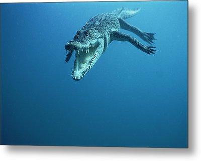 Saltwater Crocodile Crocodylus Porosus Metal Print