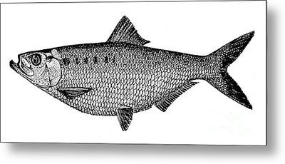 Shad Metal Print by Granger