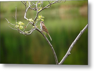 Song Sparrow Metal Print by Mary McAvoy