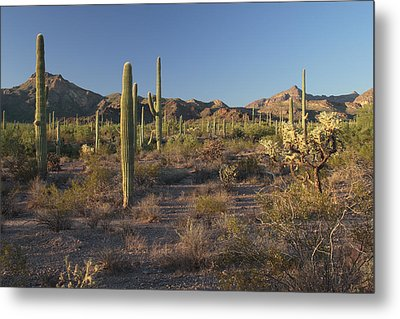 Sonoran Desert Scene With Saguaro Metal Print by George Grall