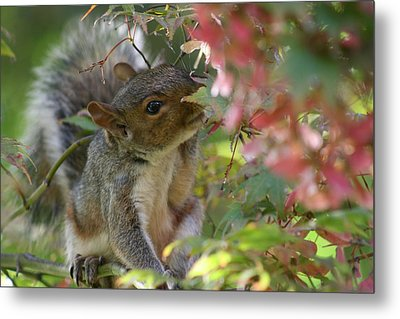 Squirrel In Fall Metal Print by Valia Bradshaw