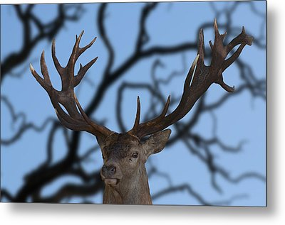 Stag Ramifications Metal Print by Michael Mogensen