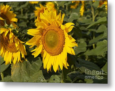 Metal Print featuring the photograph Sun Flower by William Norton