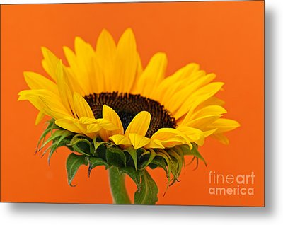 Sunflower Closeup Metal Print by Elena Elisseeva