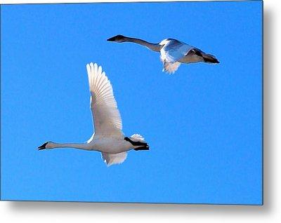 Swans On Blue Sky Metal Print by Don Mann