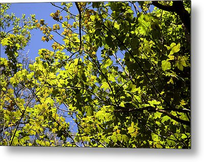 Sycamore Leaves (acer Pseudoplatanus) Metal Print by Dr Keith Wheeler
