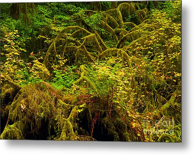 Temperate Rain Forest Metal Print by Adam Jewell