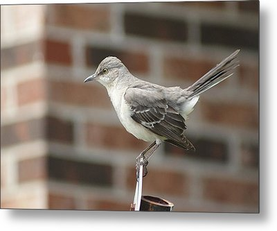 The Mocking Bird Metal Print by Rick Friedle