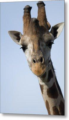 Thompsons Giraffe Giraffa Camelopardalis Metal Print by Joel Sartore