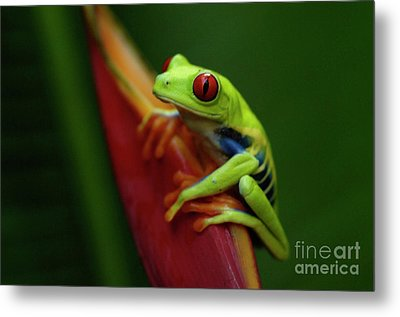 Tree Frog 19 Metal Print by Bob Christopher